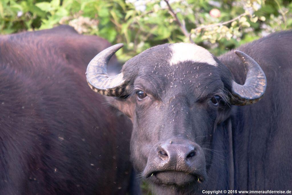 Wasserbüffel im Udawalawa Nationalpark