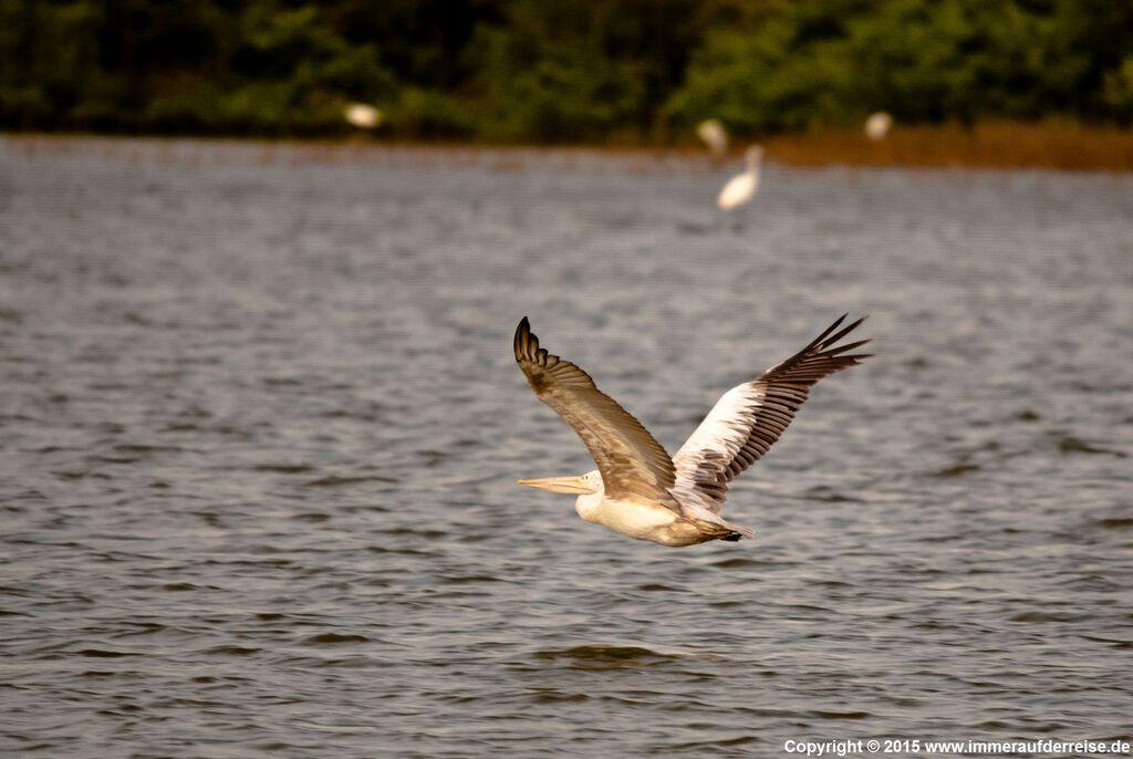 Pelikan im Udawalawa Nationalpark