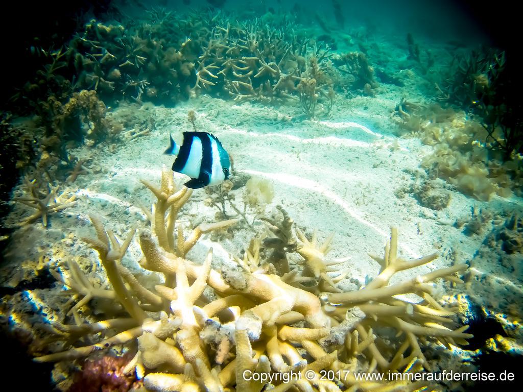 Korallen Mauritius Point d'Esny - www.immeraufderreise.de