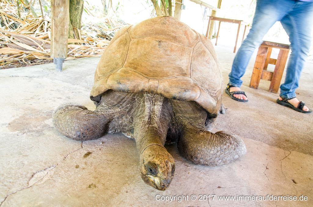 Riesenschildkröte Ile aux Aigrettes - www.immeraufderreise.de