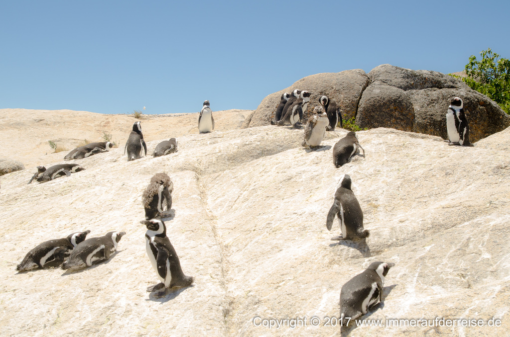 Boulders Beach Südafrika - www.immeraufderreise.de