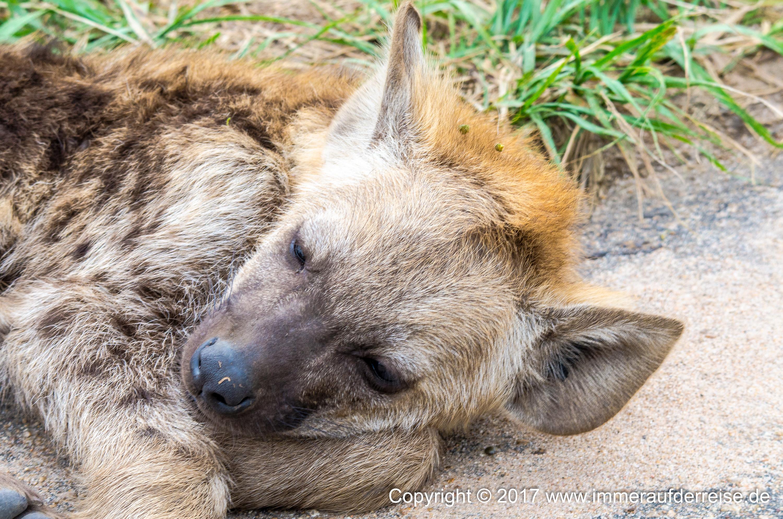 Hyäne im Krüger Park - www.immeraufderreise.de