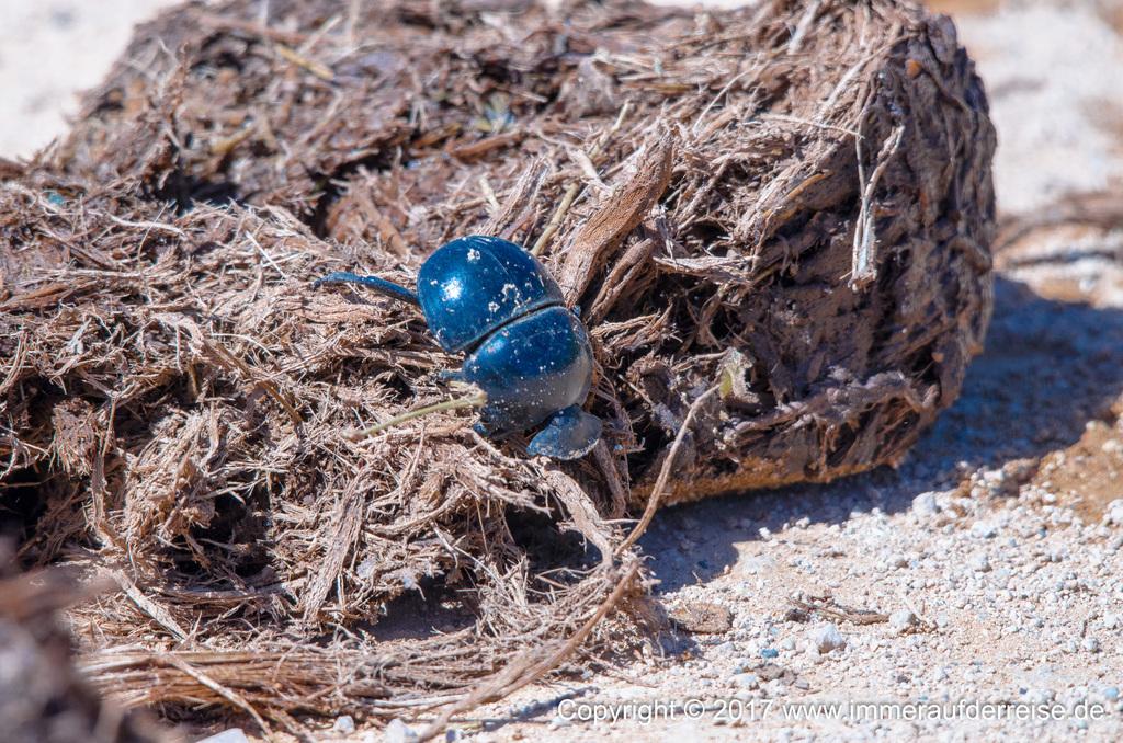 Dung Beetle Addo Nationalpark - www.immeraufderreise.de