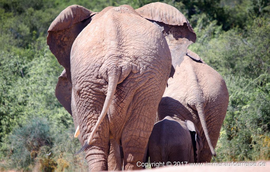 Elefanten auf der Straße in Südafrika - www.immeraufderreise.de