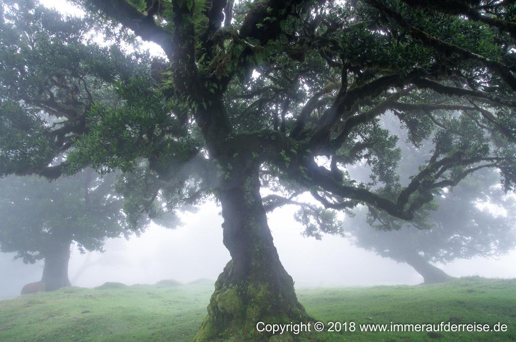 Uralter Lorbeerbaum im Nebel Fanal Madeira