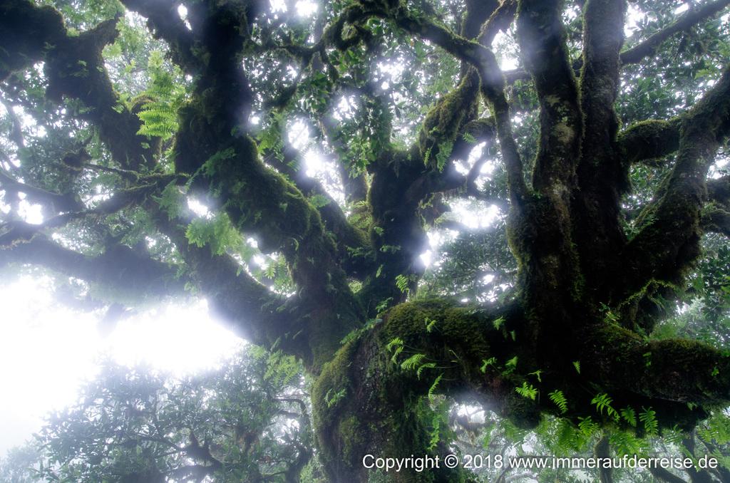 Nebel und Baumfarn Feenwald Fanal Madeira