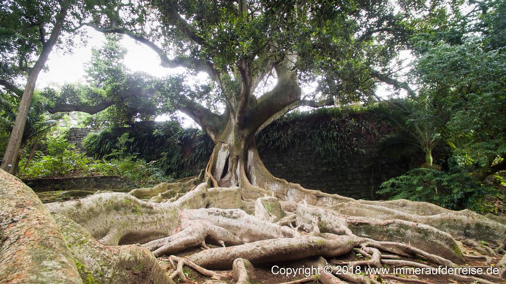 Ponta Delgada Ficus Jardim Botanical