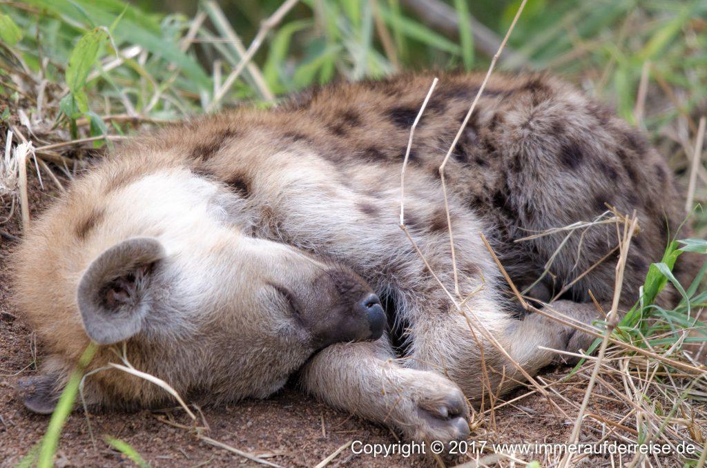 Nachwuchs Hyäne Pretoriuskop Südafrika - www.immeraufderreise.de