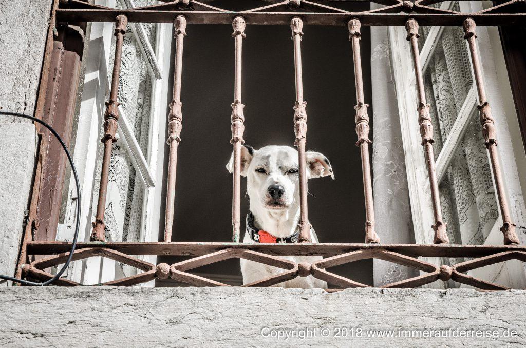 Ein Hund schaut aus dem Fenster in der Altstadt von Lissabon