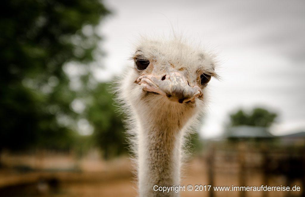 Safari Ostrich Farm Oudtshoorn - www.immeraufderreise.de